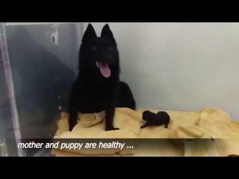 Birth of 5 Schipperke puppies