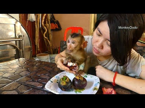 Baby Monkey Dodo Eat Mangosteen For Lunch Time