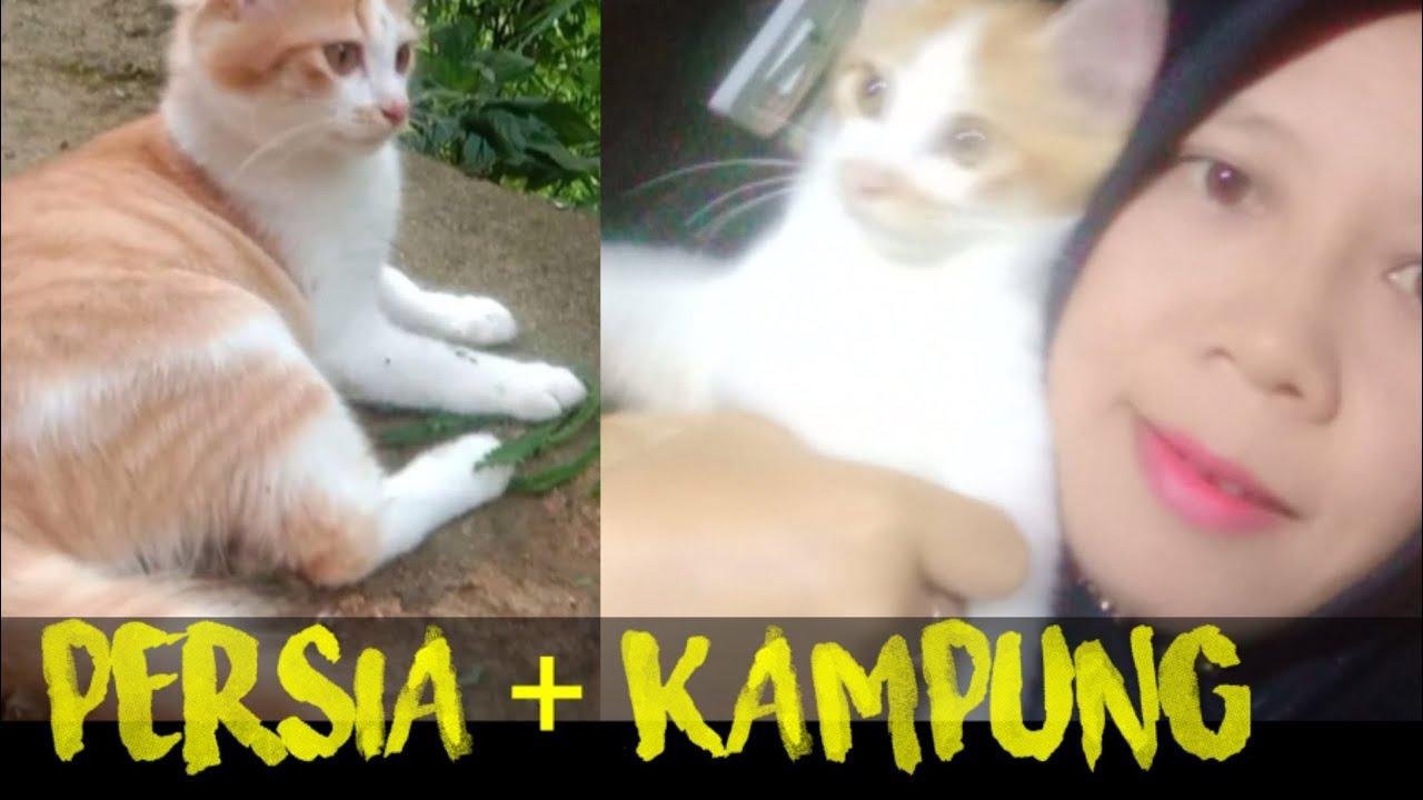 Gambar Kucing Campuran Anggora Dan Kampung godean.web.id