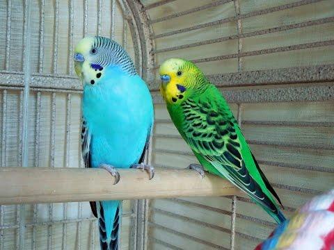 Parakeet Eating Fish Cuttle Bone, Bird Calcium Supplements