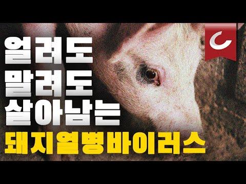 걸리면 100% 죽는다. 사상 최악의 돼지 전염병