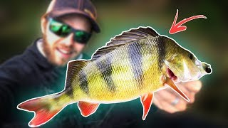 PERCH FISHING from Float Tube (CRAZY ACTION)