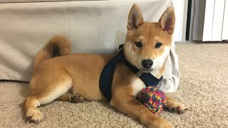 A Story About Puppy Growing Up (8 weeks to one year)   Super Shiba