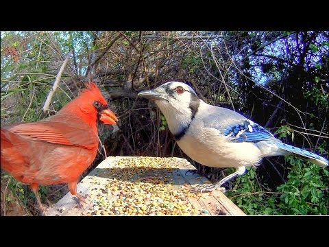 Blue Jays and Cardinals - Extreme Close-Up