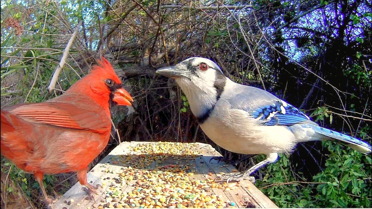 Blue Jays And Cardinals Extreme Close Up Youtube