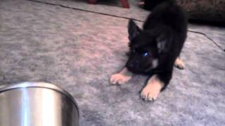 Funny German Shepherd Puppy Barking At A Can
