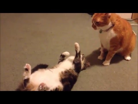 FAT cat fail vines compilatioon !!