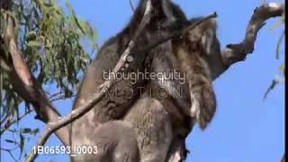 コアラの交尾:Male koala approaches female with cub and tries to fo...
