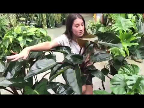 Easy Houseplant: Philodendron