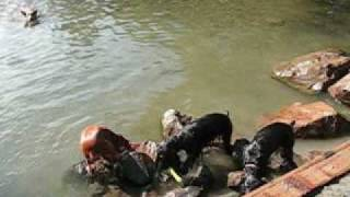 English Cocker Spaniels Swimming And Retrieving