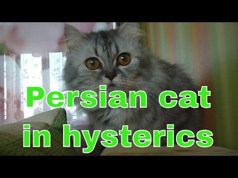 Persian cat in hysterics
