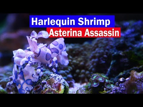 Harlequin Shrimp Asterina Starfish Eating Reef Tank Assassin! Control Those Little White Starfish