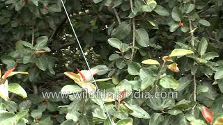 Hundreds of dragonflies flying around a Banyan tree with ripe berries