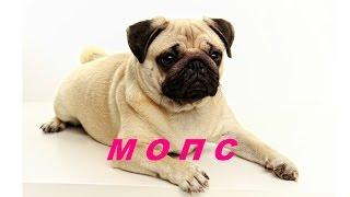 О породе собак - Мопс | Всё о Мопсе | Породы собак с Elena May   |