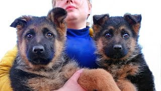 ПРОДАЮТСЯ ЩЕНКИ НЕМЕЦКОЙ ОВЧАРКИ ОДЕССА. For sale puppies German shepherd Odessa.