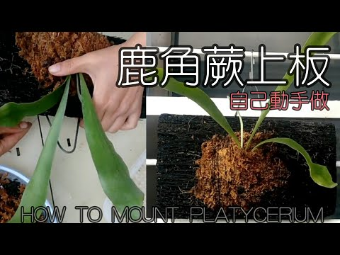 簡易DIY鹿角蕨上板 蛇木  How to mount Platycerium sporeling with fern board Mount a Staghorn Fern