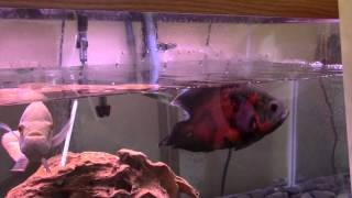 FAST SOLUTION: My Oscar Fish Is Gasping For Air | Difficulty Breathing