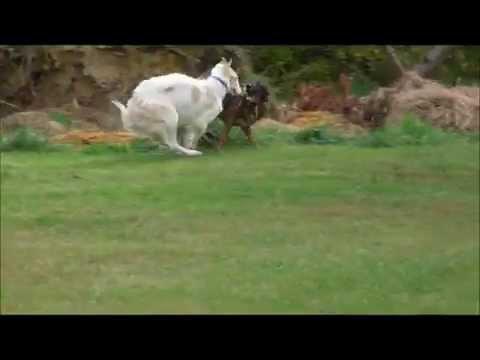 Vera the Borzoi, Elan the Deerhound and Friends