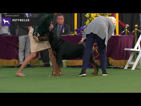 Rottweilers | Breed Judging 2020