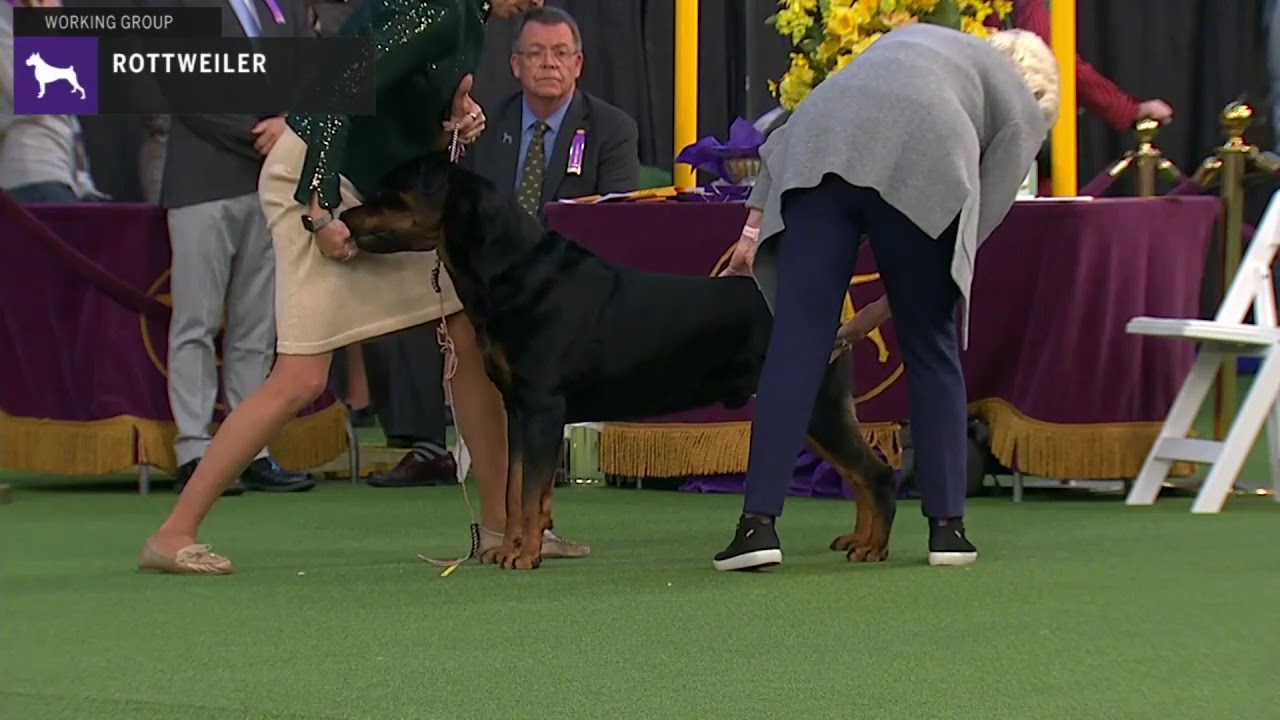 Rottweilers Breed Judging 2020 Youtube