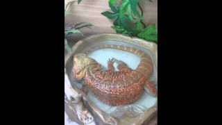 Bearded dragon bath time monty