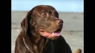 Labrador Retriever Facts   Facts About Labrador Retrievers