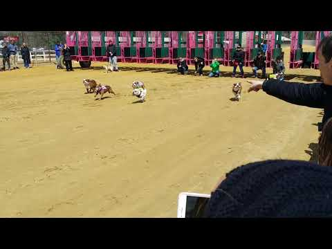 The Running of the Bulldogs! Race 3, Pimlico 2018