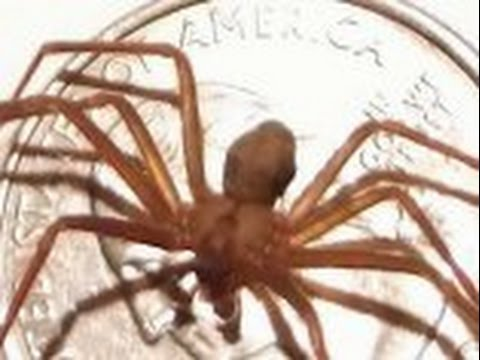 Brown Recluse Spiders Psa Can You Handle The Truth