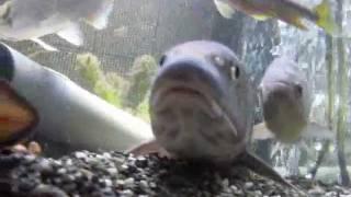 ニゴイ(45cm)の摂餌行動20120107