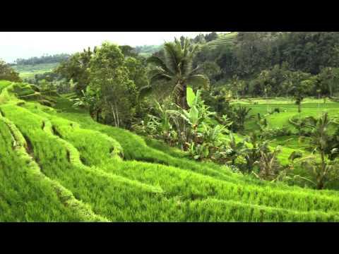 Bali Rice Fields!