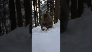 Snow monkey eating a sausage in Japan 地獄谷野猿公苑へ行く途中の山...