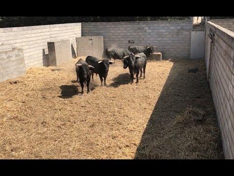 Les novillos sont arrivés dans les corrales de Montredon :