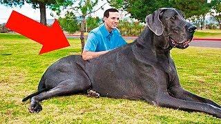 10 Самых Больших Домашних Животных в Мире