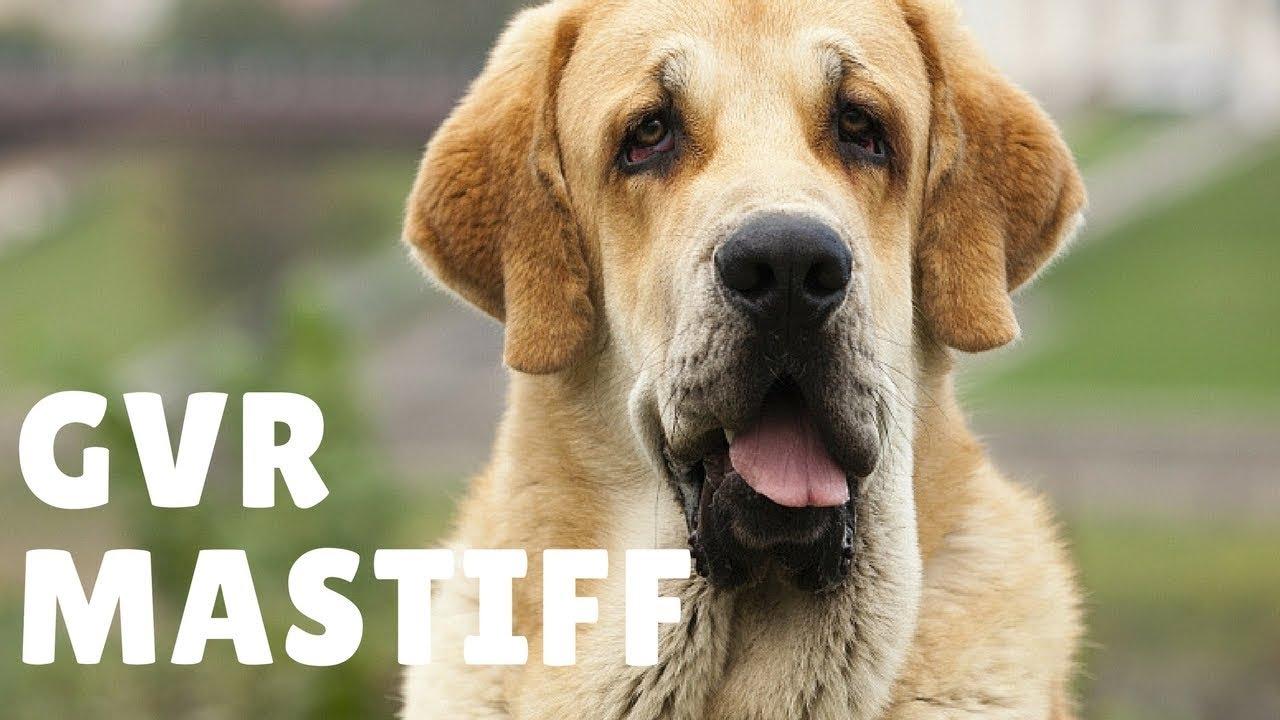 Spanish Mastiff Puppy Puppies For Sale Mastif Madison Wi Milwaukee