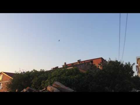 Oyun kuşu sinekli mavi seferli güvercin