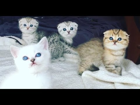 CAT Scottish Fold  give birth