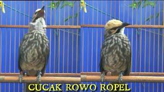 Download Mp3 Cucak Rowo Suara Ropel Dasyat Menggema, Mesothelioma Bird Singing