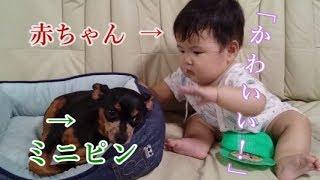 8ヶ月の赤ちゃんがミニピンに興味をもって体を触ろうとしますが、触られ...