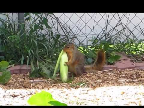 Squirrel stealing corn from the garden
