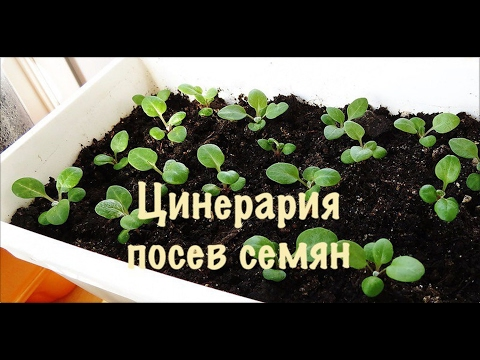 Цинерария Серебряная Выращиваем из семян легко и просто и без проблем.1-посев семян.