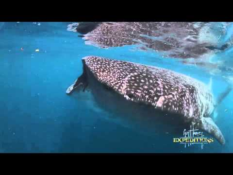 Whale Sharks - Sharks of the World