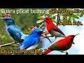 Suara Pikat Burung Sepah Raja Dan Selendang Biru Dijamin Lengket  Mp3 - Mp4 Download