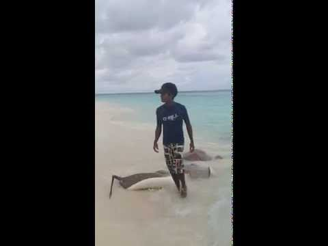 Sting Rays and Grey Heron Come to Shore in the Maldives