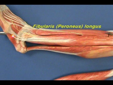 Leg Model - Leg - Lateral Compartment - YouTube