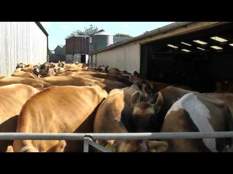 Jersey Cows go to Milking