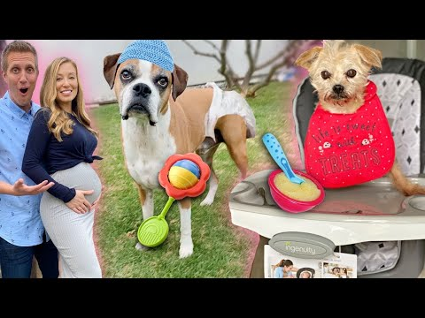 We're Pregnant!    Treating Our Dogs Like Babies for 24 hours At Home