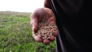 Winter Rye! Food Plot Miracle Seed!