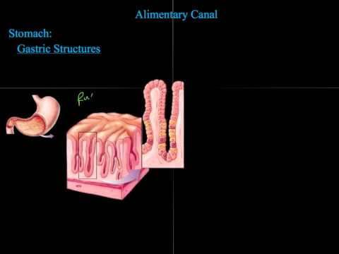 2.  Alimentary Canal