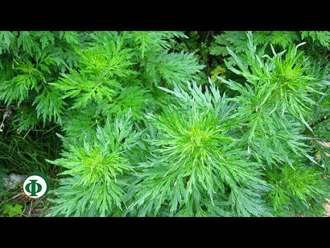 55 Полынь – это трава над травами