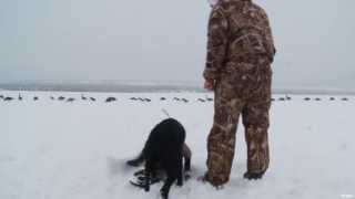 Labrador Retriever Training For Geese Hunting